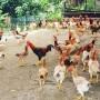 Fresh Whole Chicken Type Standard 1.8kgs